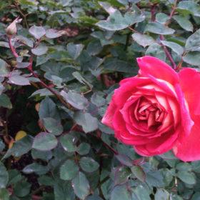 赤ピンク色の薔薇