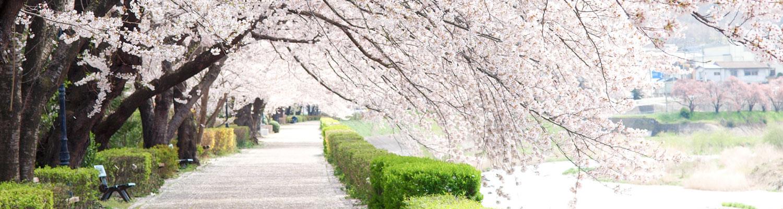 小学生卒業式イメージ写真(桜並木)