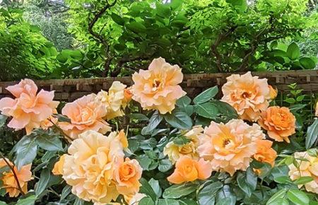 5月オレンジのバラの花